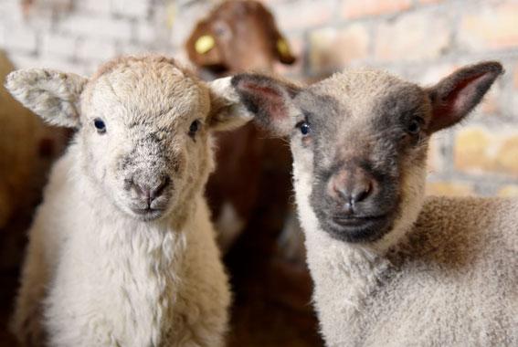 Die artgerechte Haltung von Tieren wie bei den Schafen in Sundhagen ist entscheidend für die sehr gute Qualität des Fleisches.