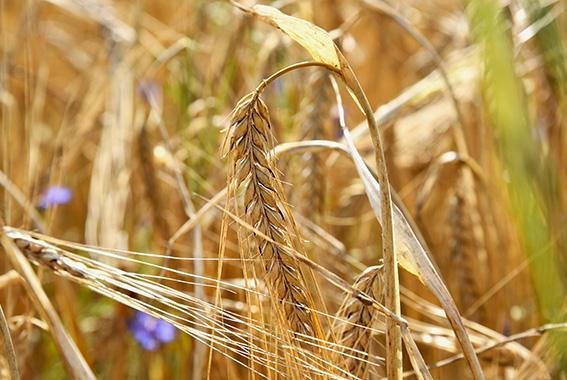 Ein Teil der Bio-Braugerste stammt von Landwirten aus der Region.