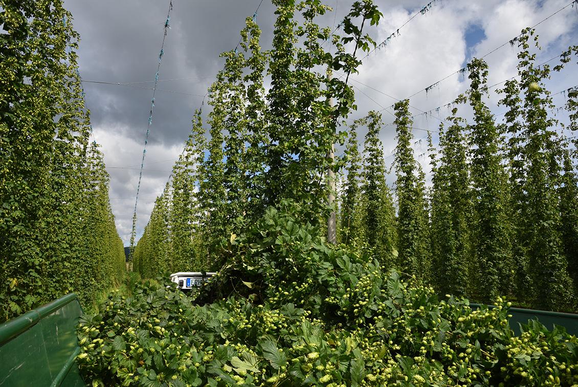 Die einzelnen Hopfenpflanzen werden bis zu 7 Meter hoch.